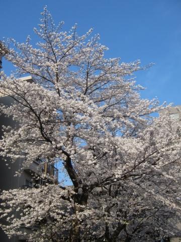sakura-b.jpg